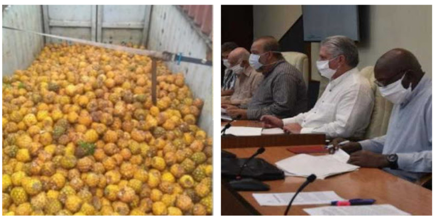 Campesino matancero pierde 150 quintales de piña por mala gestión de dirigentes, en medio de la escasez de alimentos
