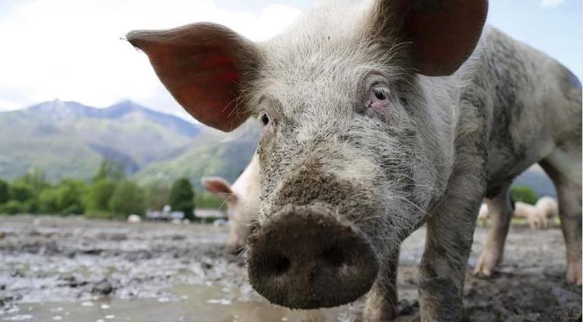 Científicos chinos advierten sobre nueva gripe porcina potencialmente peligrosa para humanos