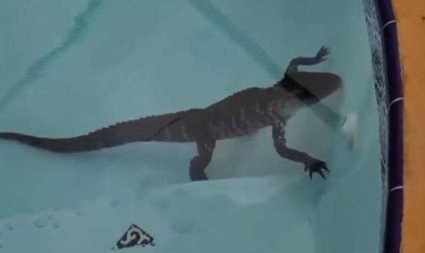 Encuentran pequeño cocodrilo nadando en la piscina del patio trasero de una familia de Florida