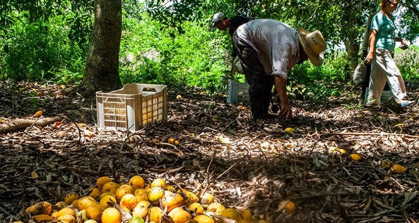 Negligencia estatal provoca que se pudra una cosecha de mangos en Santiago de Cuba
