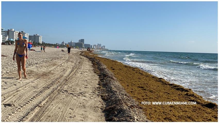 Gran cantidad de sargazo afecta la playa en Miami Beach
