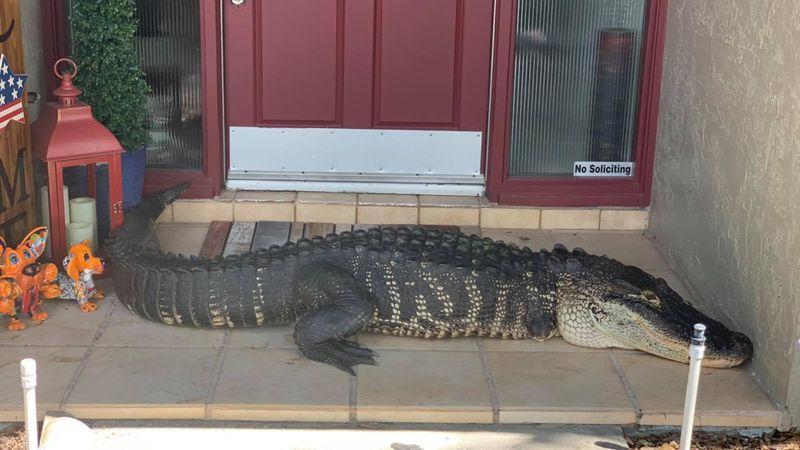 Una familia de Florida se encuentra un inmenso caimán de 9 pies en la puerta de su casa