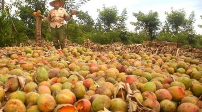 Dirigentes dan a conocer 8 mil cajas de mango están a punto de echarse a perder en Santiago de Cuba