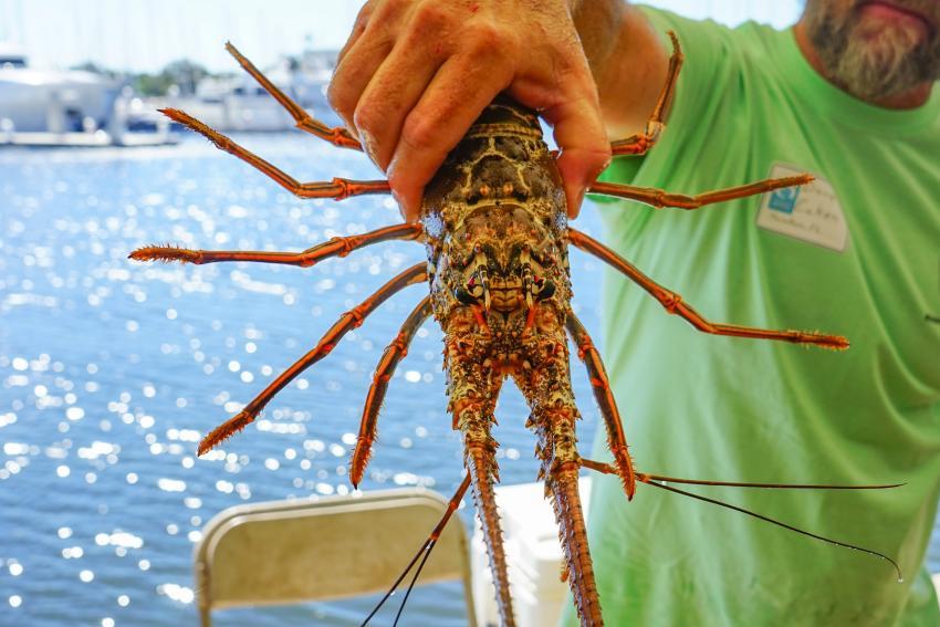 Se llevará a cabo la mini temporada de langostas en los Cayos de Florida, pese al Covid-19