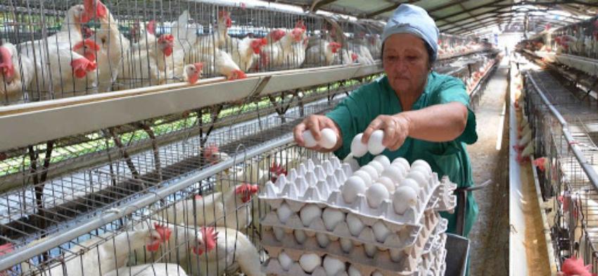 Apagones por la tormenta provocaron pérdidas de 15.000 huevos en granjas avícolas de Artemisa, en medio de la crisis alimentaria