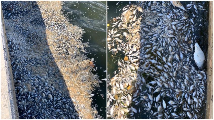 Investigación concluye que la muerte de peces en la Bahía de Biscayne fue por bajos niveles de oxígeno en el agua