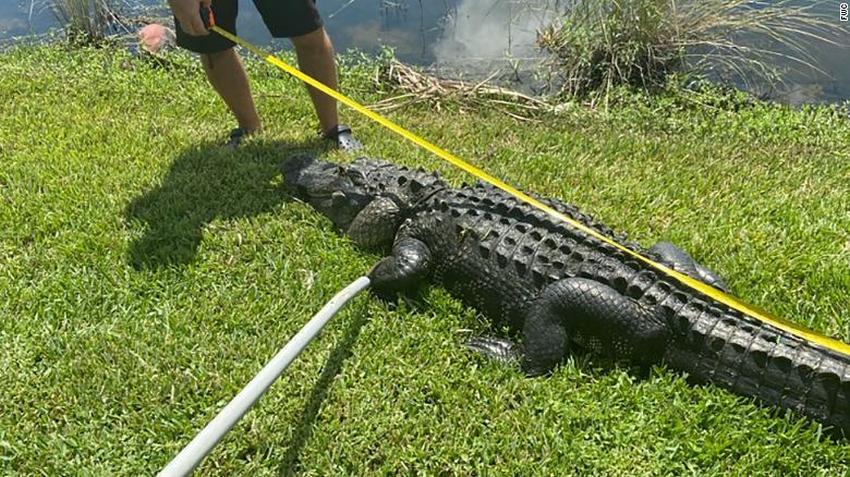 Mujer de Florida es atacada por un caimán mientras podaba un árbol