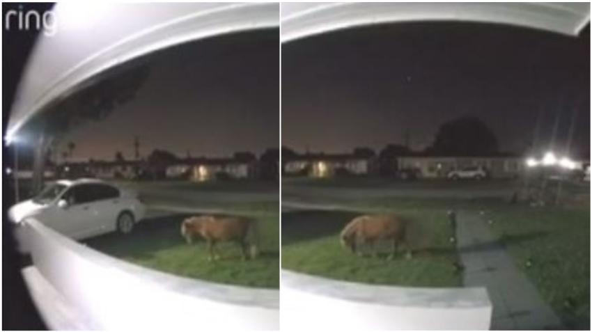 Cámaras de seguridad captan a un pony paseando por vecindario de Miami cerca del Tropical Park
