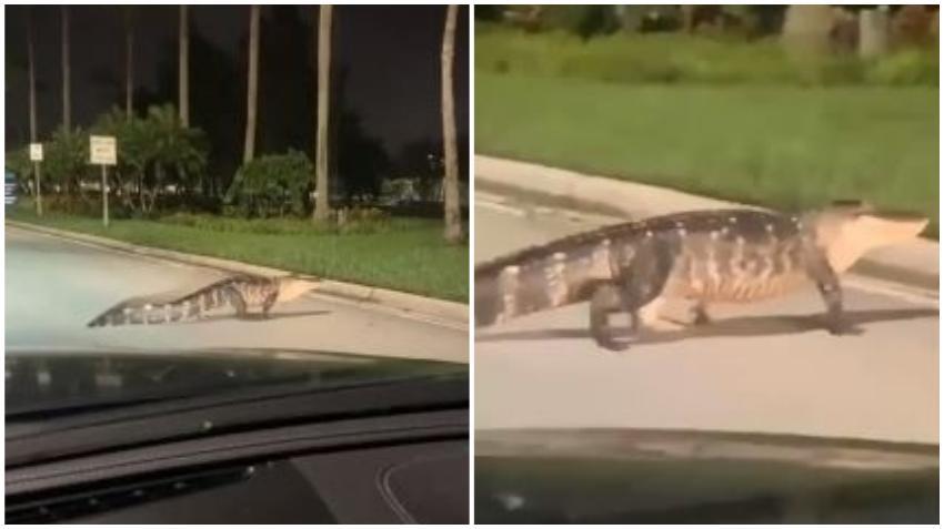 Un cocodrilo se pasea por la calle en el Dolphin Mall de Miami