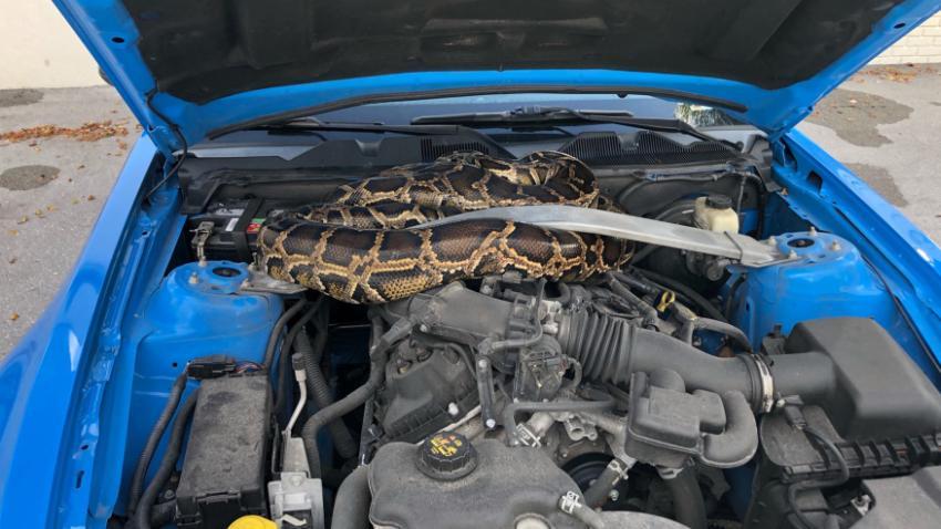 Encuentran una serpiente pitón de 10 pies debajo del capó de un Mustang en el sur de la Florida