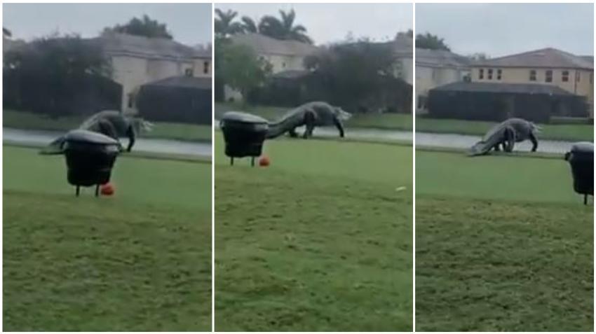 Enorme Caimán se pasea por el área de barbecue de un condominio en el Sur de la Florida