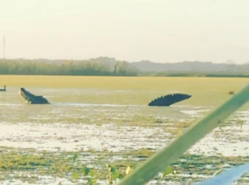 Enorme caimán de 13 pies le roba los patos a unos cazadores en Florida