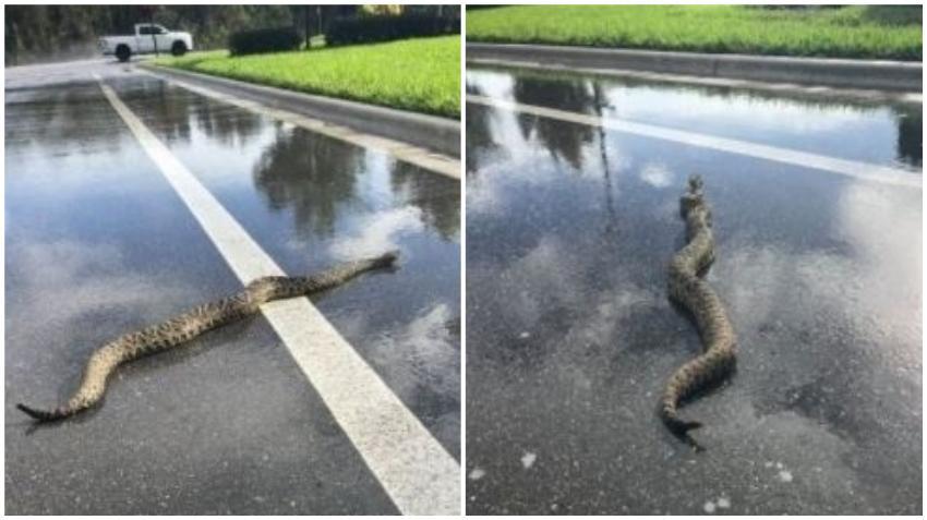 Inmensa serpiente venenosa se pasea por una calle en el sur de la Florida