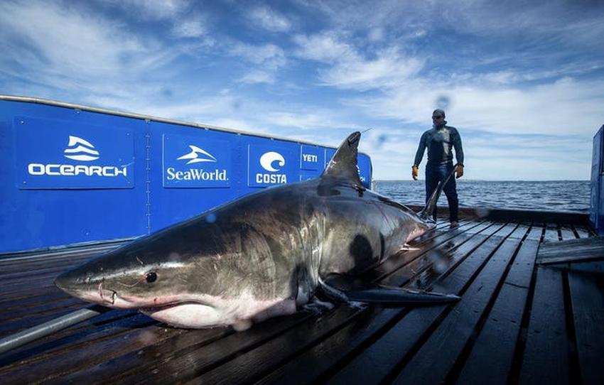 Rastrean gran tiburón blanco de 15 pies y 2000 libras cerca de Vero Beach en Florida