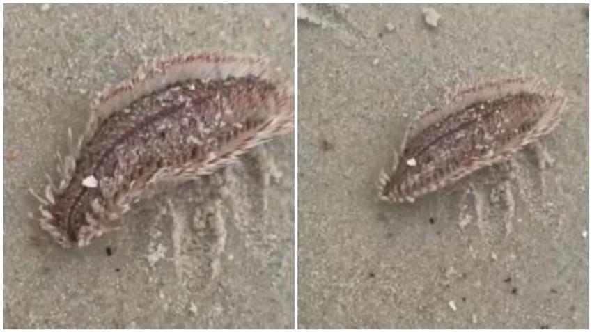 Raros gusanos de extraño aspecto, propensos a morder, aparecen cerca de Jungle Island en Miami