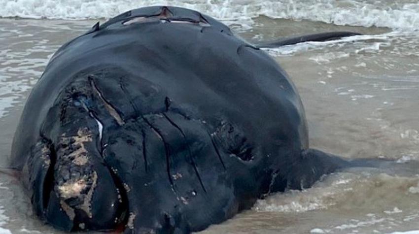 Encuentran muerta en una playa de Florida a una ballena bebé con aparentes heridas de bote