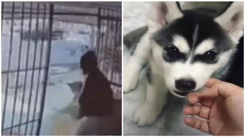 Piden ayuda para encontrar a un cachorro husky siberiano robado de una casa en la Pequeña Habana
