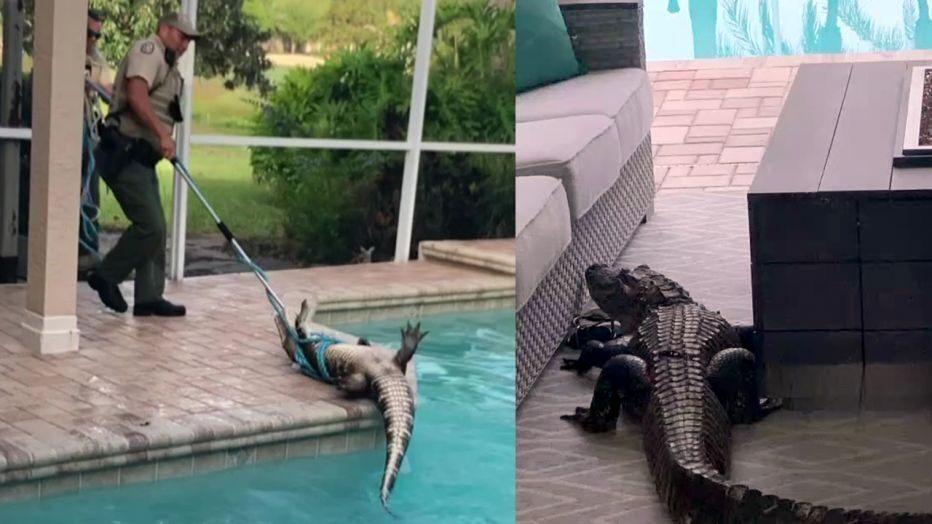 Familia en Florida encuentra inmenso caiman en la piscina de su casa