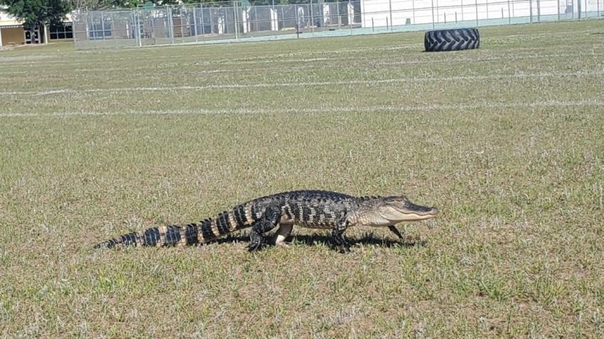 Caimán interrumpe la práctica de carreras de una escuela secundaria de Florida