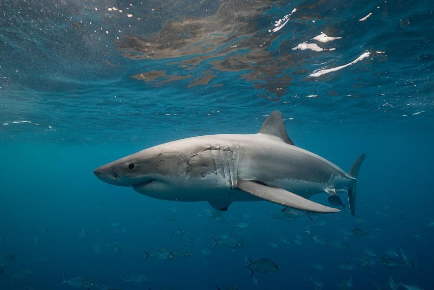 Tiburón muerde a un niño de 8 años de Miami que se encontraba en la playa el 4 de julio