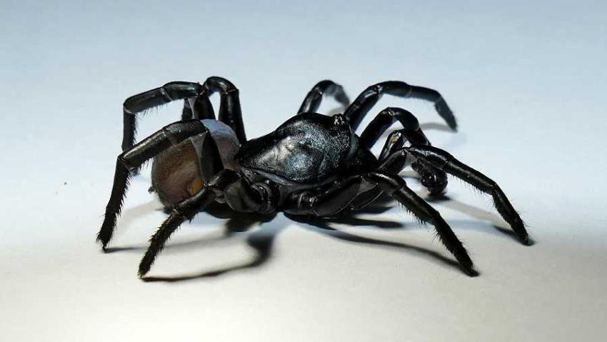 Misteriosa nueva especie de araña venenosa descubierta en Miami
