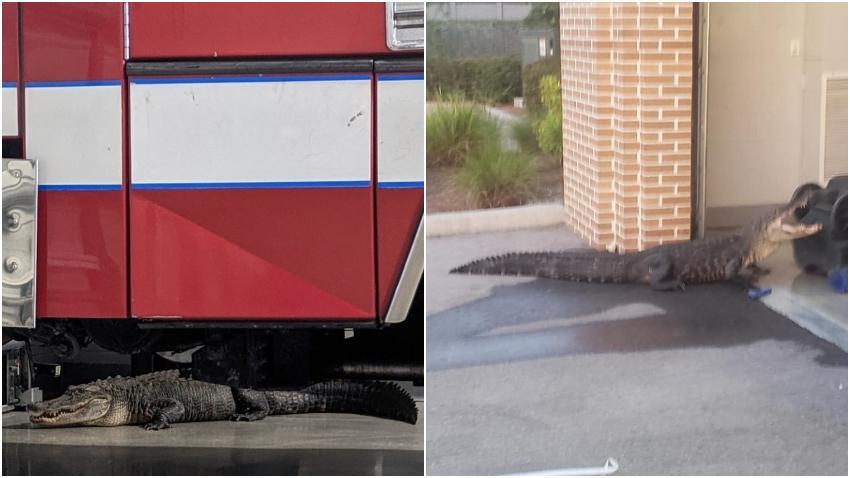 Inmenso caimán se cuela en estación de bomberos en Florida