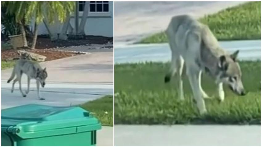 Advierten sobre coyote por las calles de vecindario residencial en el suroeste de Miami Dade