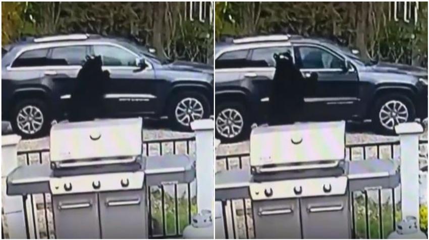 Se hace viral el video de una familia de osos abriendo un auto en el estacionamiento de una vivienda