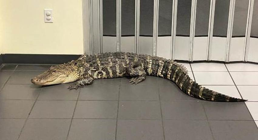 Caimán de más de 7 pies se cuela en una oficina de correo en Florida