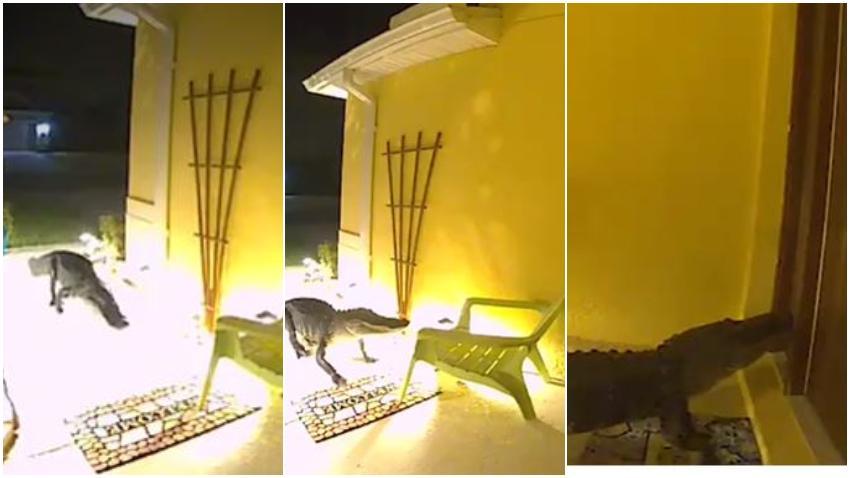 Captan en cámara como inmenso caimán llega hasta la puerta de una familia en Florida