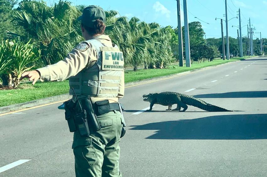 Caimán detiene el tráfico en una calle del Sur de la Florida