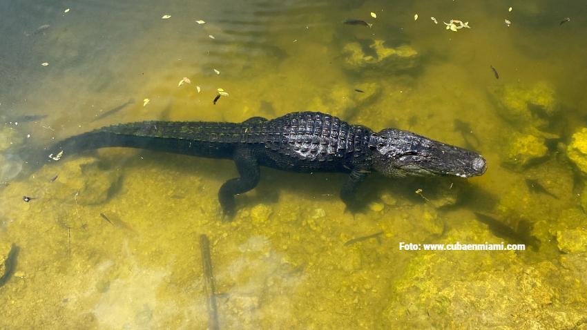 Reportan varios ataques de caimanes en Naples, Florida