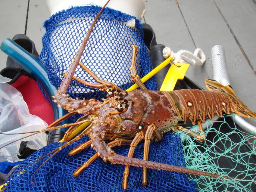 Comienza la mini temporada de pesca de langosta en Florida