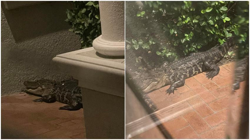 Familia en Florida se despierta en medio de la madrugada tras sentir a un caimán tratando de entrar a la casa