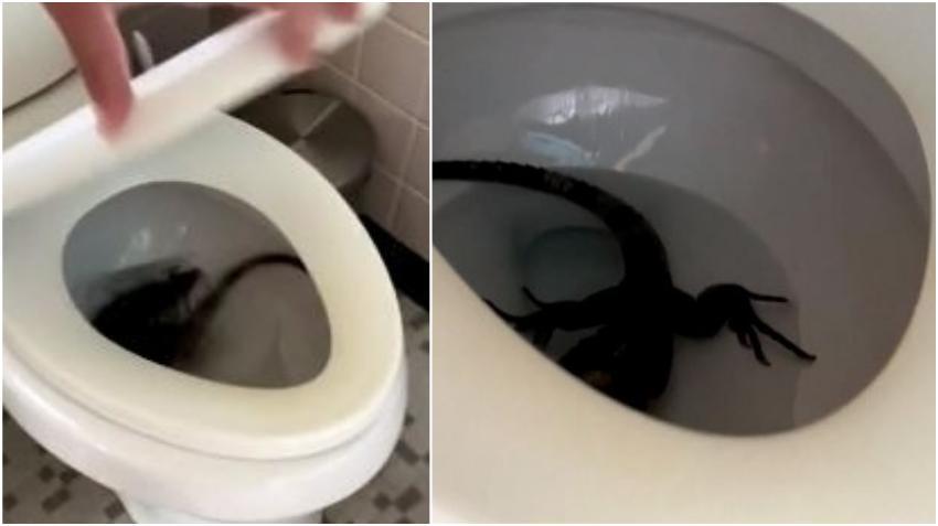 Solo en Florida: Familia del sur de la Florida se encuentra una iguana dentro del inodoro de la casa