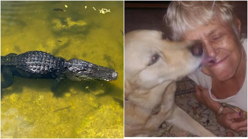 Anciana de Florida se enfrenta a un caimán para salvar a su perro