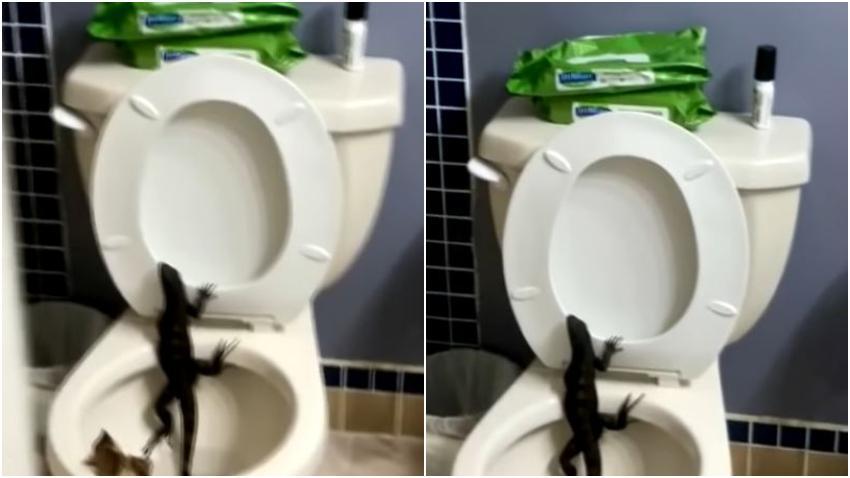 Una mujer en el Sur de la Florida se sorprende al ver una iguana saliendo de su inodoro